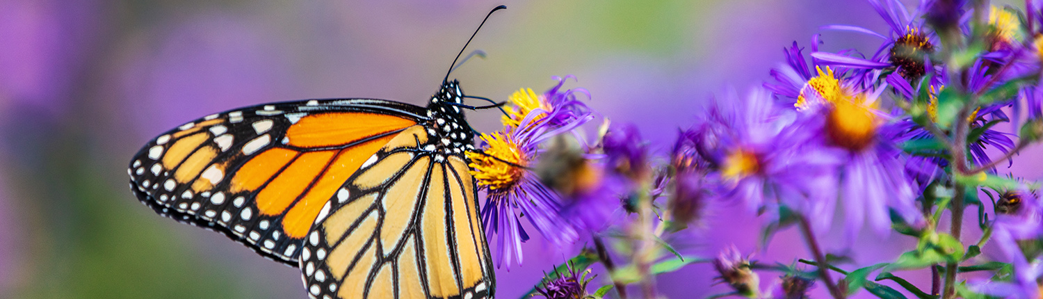 Monarch butterfly on purple aster flower