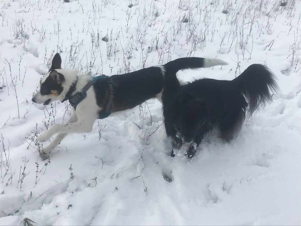 Dogs playing in snow: Dracena (Puppers) and Harley Quinn